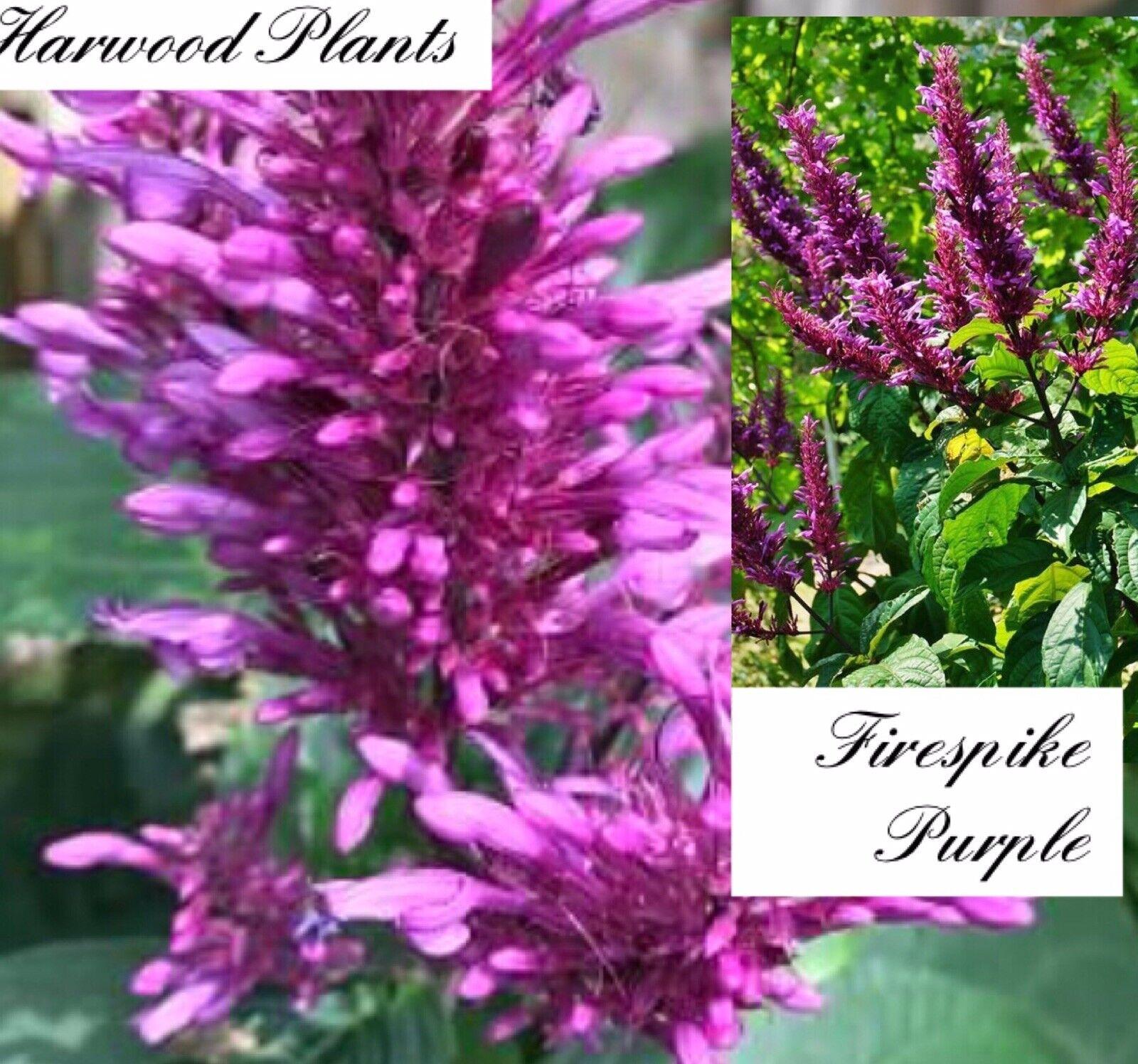 Purple Firespike Semi Tropical Plant Shade Perennial Shrub