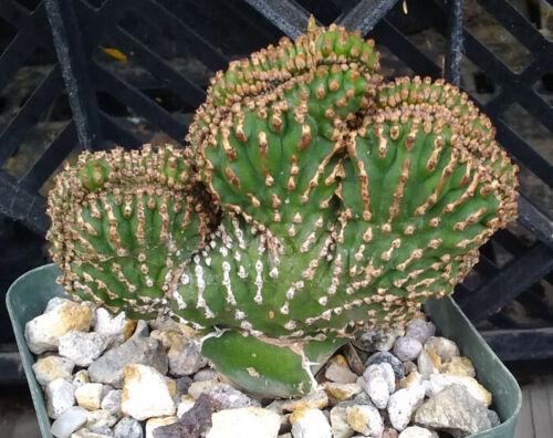 Euphorbia cv Ed Hummel Succulent Cristata Art on Steroids