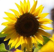 20-Seeds Auff/älliges Sonnenblume Helianthus pauciflorus