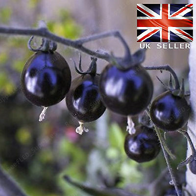 Rare bleu Daisy Osteospermum WHIRLIGIG 10 graines fraîches viable-uk vendeur