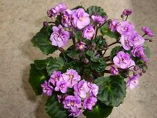 Beateous Blatt/leaf Usambaraveilchen African Violet Saintpaulia