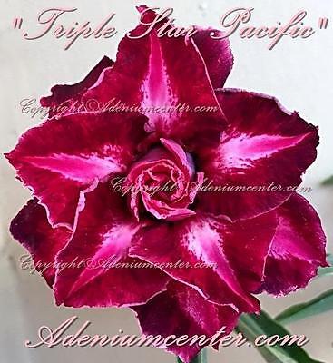 """ADENIUM OBESUM DESERT ROSE TRIPLE FLOWER /"""" VIVA LAS VEGAS /"""" 20 seeds  NEW HYBRID"""