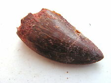 FOSSIL African Flesh Eating T-Rex Dinosaur Tooth (H)