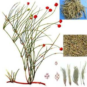Details about 50g~1500g Ma Huang Raw Mahuang Tea Chinese Natural Plant Tea  Green Herbal Tee 茶