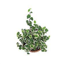 Root Bridges Indoor Ficus Pumila Plant (Pot included)