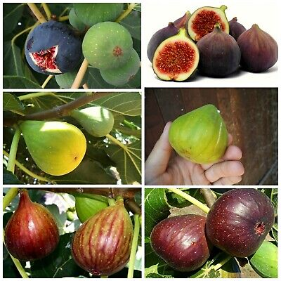 Original Extra Sweet Italian Everbearing Fig Tree ~25 Top Quality Seeds