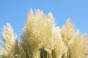 exotische-Blueten-Raritaet-Saatgut-seltene-Garten-Balkon-Pflanze-PAMPASGRAS