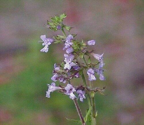 Lyreleaf Sage (Salvia lyrata) ✤ 100 Seeds