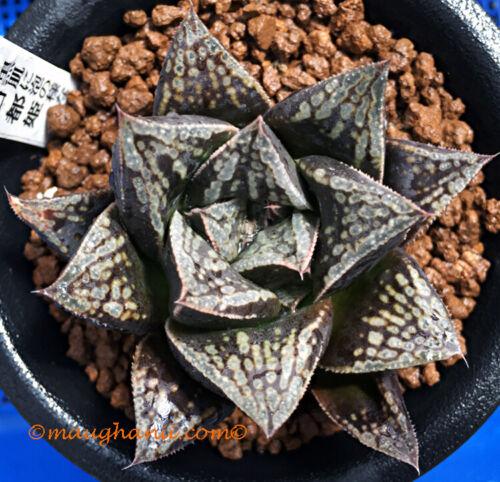 Succulent Haworthia cv /'Kotohime/' specimen size plant