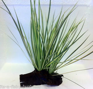 Japonés Rush berberine gramineus Bogwood vivo agua dulce Terrario acuático