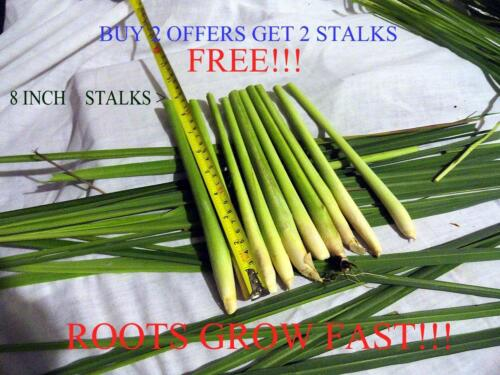 6 Lemongrass Stalks Cymbopogon Herb  and Rooted If available!!