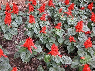 Scarlet Sage (Salvia Coccinea) attracts butterflies and hummingbirds -1000 Seeds