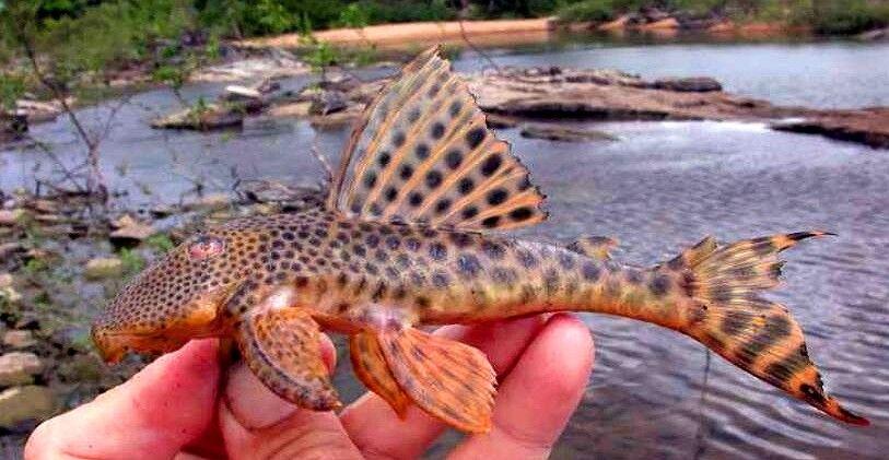 Peckoltia sabaji L075 (Pará Pleco, L-numero, pesce gatto)