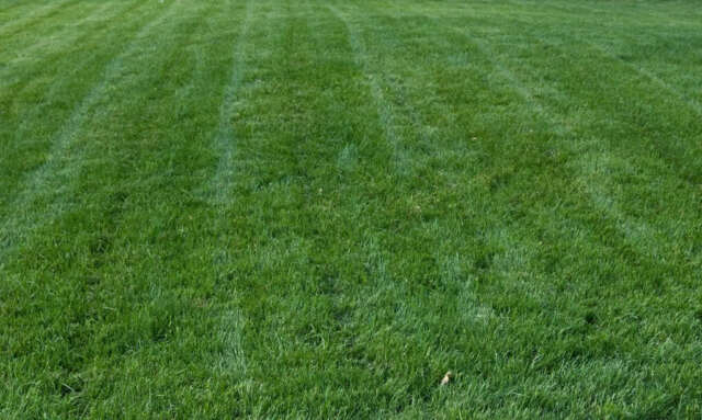 Titan Rx Turf Type Tall Fescue Grass Seed 5 Lb For Sale
