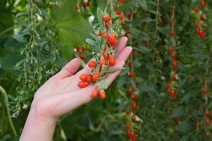 exotisch-Garten-Pflanze-Samen-winterhart-Saemereien-Exot-Obstbaum-GOJI