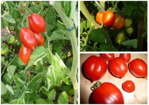 Samen der Tomate Tropfenförmige von Linosa; naturnaher Anbau; 15Samen