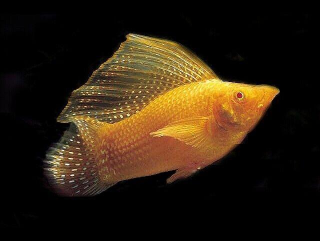 10 (ten) x Gold Sailfin Mollies (Poecilia velifera, Livebearer)