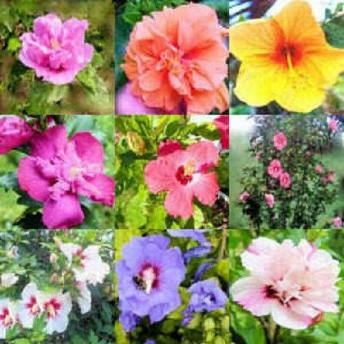 50 MIXED COLORS ROSE OF SHARON HIBISCUS Syriacus Flower Tree Bush Seeds Mix