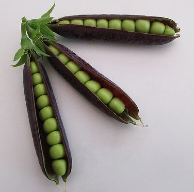 PURPLE PODDED PEA  RARE HIERLOOM ORGANIC HUGE CROPS TOP FLAVOUR 50 FRESH SEEDS