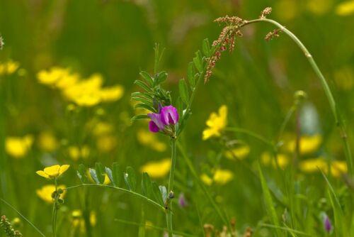 Vicia Common Vetch 25g Seed British Wild Flower