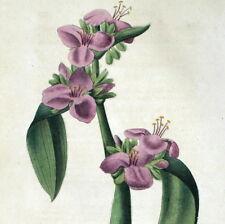 Fiore Botanica Spiderwort Tradescantia tumida Incisione originale 1839