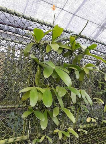 Phalaenopsis Hybrids orchid plant BLOOM SIZE Thailand CITES