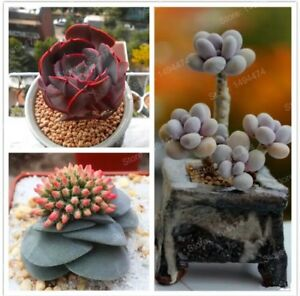 COLOR-SUCCULENT-MIX-rare-plant-exotic-cactus-flower-succulents-seed-30-seeds