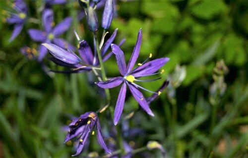 30 BLUE CAMAS Camass Lily Wild Indian Hyacinth Camassia Quamash Flower Seeds