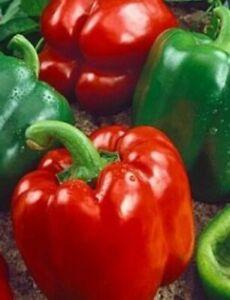 PEPPER, CALIFORNIA WONDER BELL, 25 VEGETABLE SEEDS NON-GMO, Organic, USA SELLER