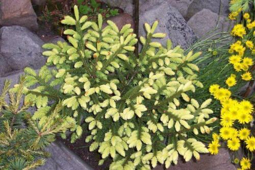 Picea orientalis Golden Start grafted  in 7cm pot bonsai subject