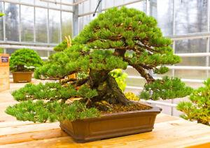 Garten Miniatur Baum Schmalblatt Kiefer Winterhart Zierbaum