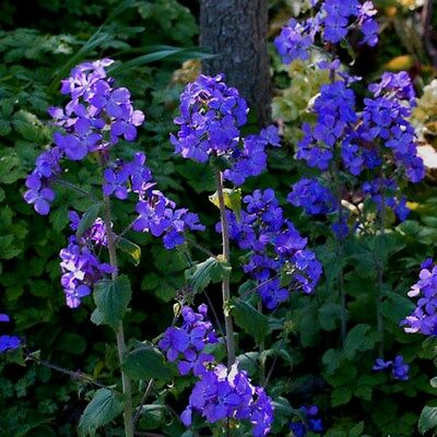 Dark Purple Money Plant! 15 Seeds ! Perennial! Comb.S/H! GREAT FOR CRAFTS!