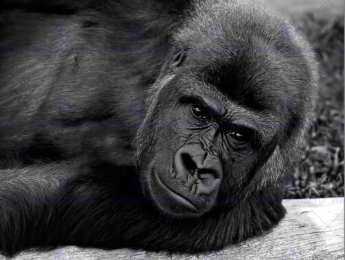 GORILLA APE BLACK WHITE PORTRAIT PHOTO FINE ART PRINT POSTER  BMP123B
