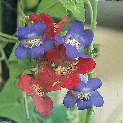 10 Climbing Snapdragon Mix Color (Asarina antirrhiniflora - Perennial Vine.