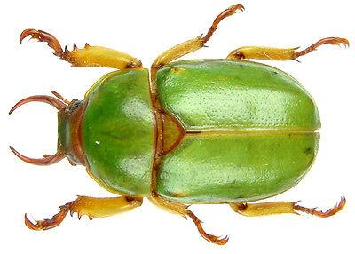 Male 18~21mm ....!! Insect Compsomera elegantissima Tanzania