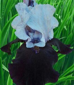 2 Iris Roots Bulbs Bonsai Blue Flowers Perennial Rare Rhizomes Plants Not Seeds