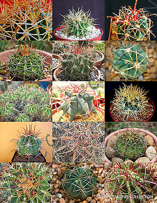 leuchtenbergia principis 15 seeds cactus korn graines samen
