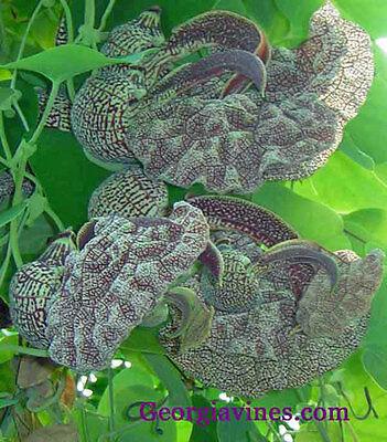 Aristolochia cymbifera  RARE 10 seeds