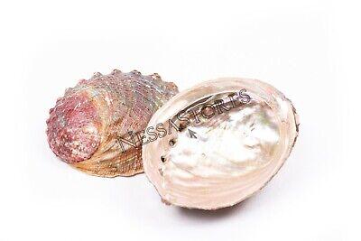 """5/"""" Pink Abalone Sea Shell One Side Polished Beach Craft 4/"""" #JC-11 16 pcs"""