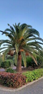 4 X Palmyrah seeds Palmyra palm Borassus flabellifer Asian Fruits Tree Non Gmo