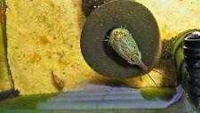 Triops cancriformis vert d'Espagne magiques incl. alimentation