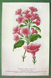 FLOWERS-Rose-Colored-Weigela-COLOR-Litho-Print-Botanical