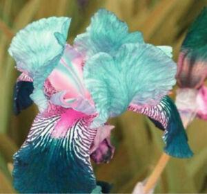 2-Blue-Iris-Bulbs-Plant-Bearded-Iris-Flower-Flores-Rare-Bonsai-Mixed-Color-Decor