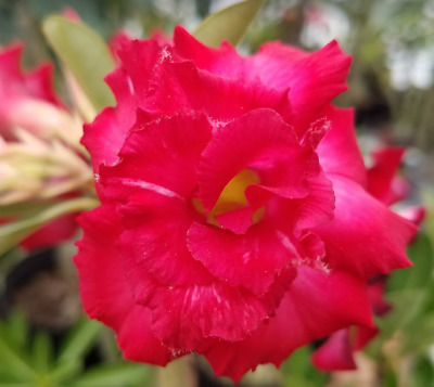 10 pcs Desert Rose Flower Adenium obesum Seeds triple red # A AMERICAN SELLER