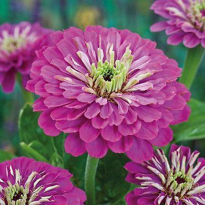 FLOWER ZINNIA GIANT PURPLE PRINCE 2.0 GRAM ~ APPROX 275 FINEST SEEDS