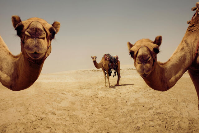 Close Up of Camels in Desert Doha Qatar Photo Art Print Poster 18x12 inch