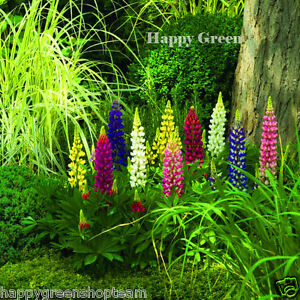 Russell-Lupin-MIX-Lupinus-Polyphyllus-60-seeds-PERENNIAL-FLOWER