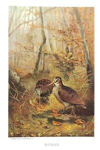 1885-Prang-Chromo-WOODCOCK-Quail-BIRD-Birds-VERY-NICE-COLOR-PRINT-L-K