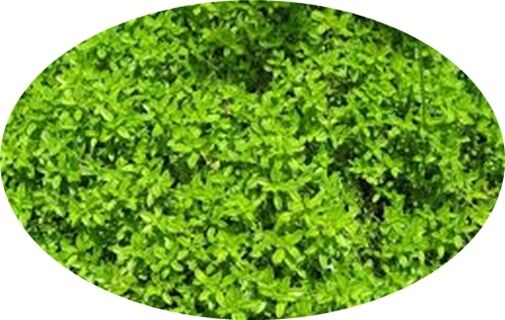 Thyme- A Must for the Herb Garden!! Perennial 100+seeds