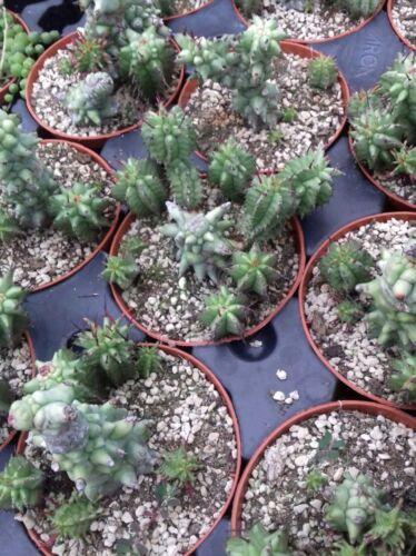 Euphoria Horrida mostruose no ariocarpus copiapoa aztekium cactus kakteen